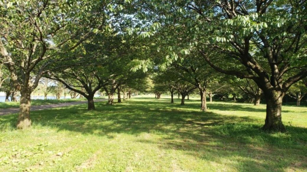 中州公園桜の木